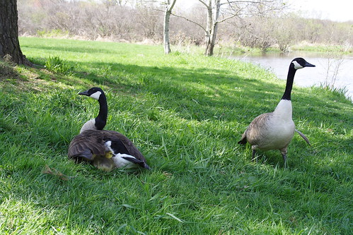Goose Family - there are six goslings!
