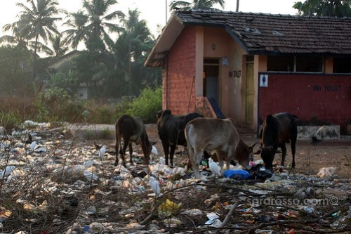 Cows eating Trash, Baga Beach, Goa, India