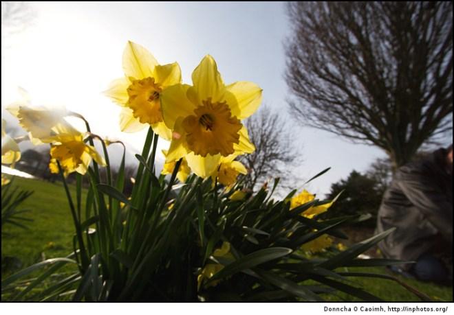 The Lough Daffodils