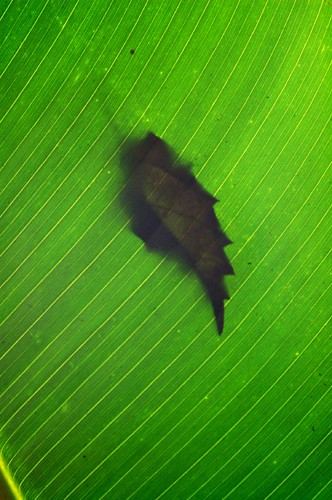 on Papaya's Leaf