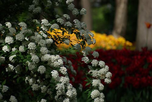 white flowers, istanbul tulip festival, istanbul, pentax k10d