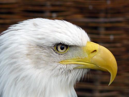 eagle (by Claudecf)