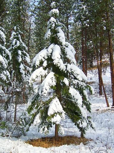 Decorated fir