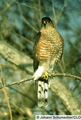 Sharp-shinned Hawk - Cornell