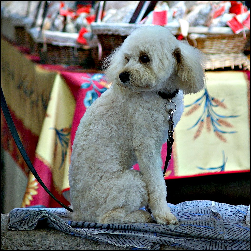 Patient poodle