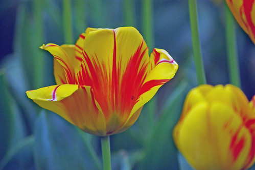 yellow-red tulip, istanbul tulip festival, istanbul, pentax k10d