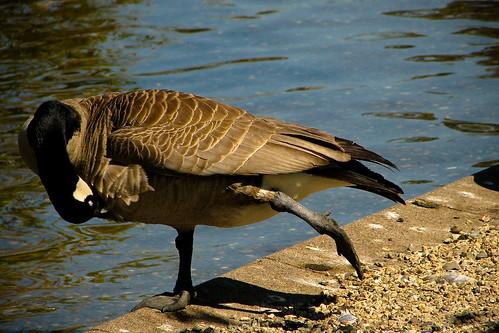 yoga goose