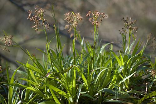 Luzula sylvatica (Juncaceae) (Foto op Flickr van stephenbuchan)