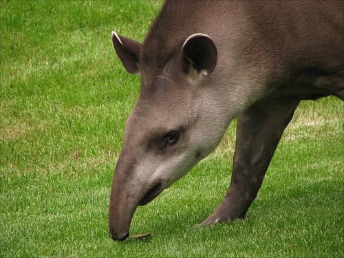 Tapir / Tapiridae
