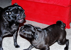 Round 1 of Ultimate Pug Fighting Championships is about to start