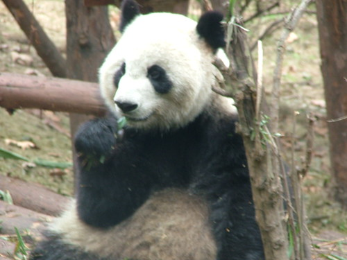 Chengdu's Pandas (5/6)
