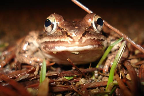 Wood Frog Portrait