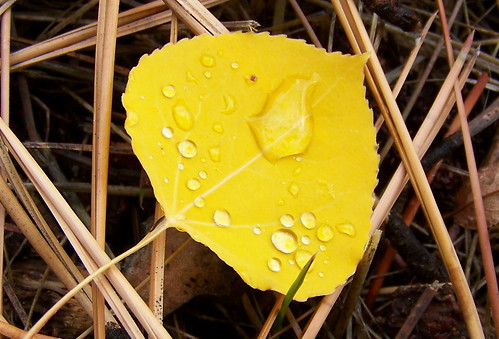 Raindrops on Aspen leaf