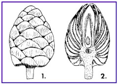 Willow Pine Cone Gall Cross-section