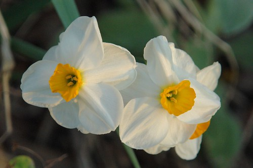 Daffodil with Orange Cup