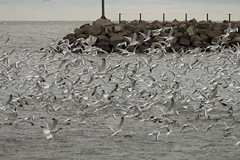 ton of gulls