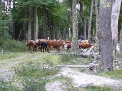 Muuuuchas vacas...