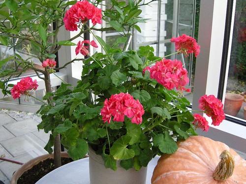 Anna Andersens pelargonium
