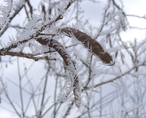Frost crystals on redbud seed pods