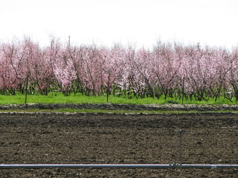 University farm orchard in bloom