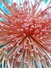 (c) Hilltown Families - Chrysanthemum Show at Smith College