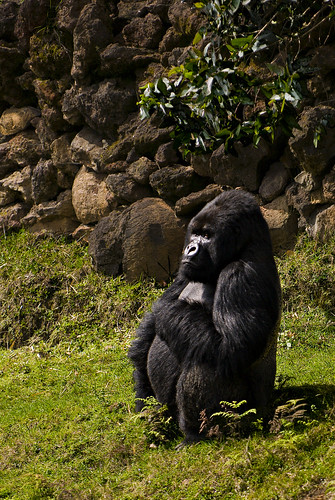 I wonder if this gorilla is pondering his waist to hip ratio.