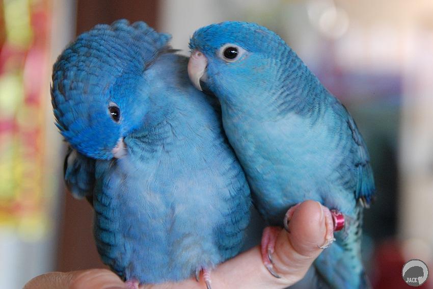 【鸚鵡】橫斑鸚鵡 – TouPeenSeen部落格