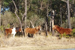 Ponies at Assateague