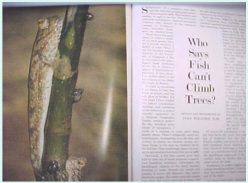 NatGeo 1972 Mudskipper article