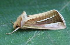 White-streaked Looper - Hodges#8953 (Plusia venusta)