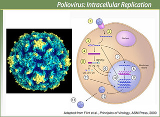 Polio virus invades cell into gut