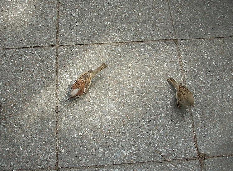 Haussperlinge - Männchen und Weibchen
