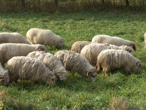 sheeps in Bieszczady
