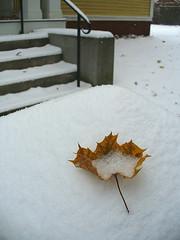 Fallen leaf on snow
