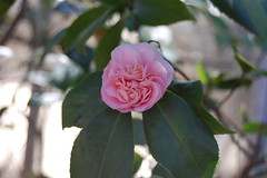 first camellia of spring