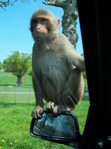 Monkey on my Mirror