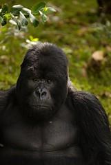 Rwanda Mountain Gorillas _DSC14432