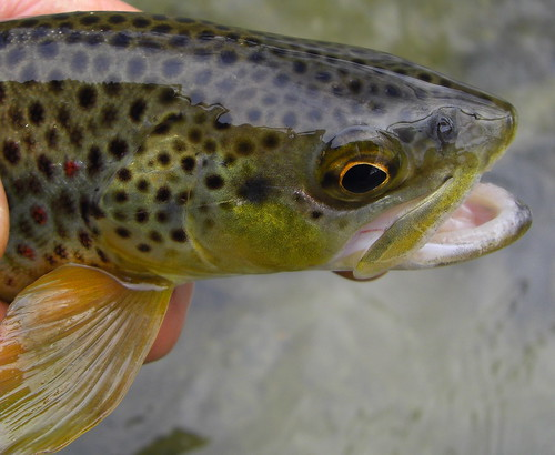 Close Up Brown Trout
