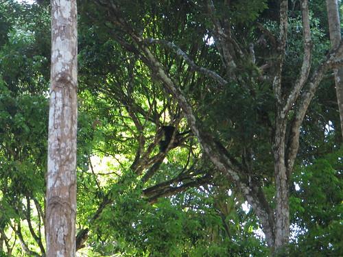 spider monkeys humping