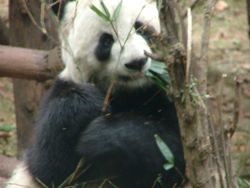 Chengdu's Pandas (6/6)