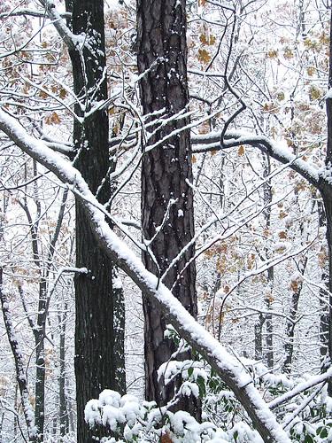 snowy trunks