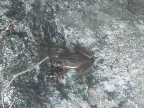 褐樹蛙12