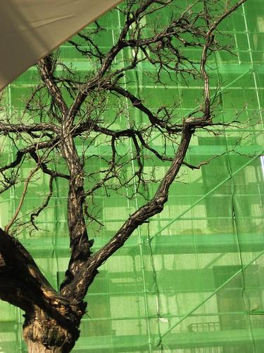 El árbol Verde crece de nuevo.