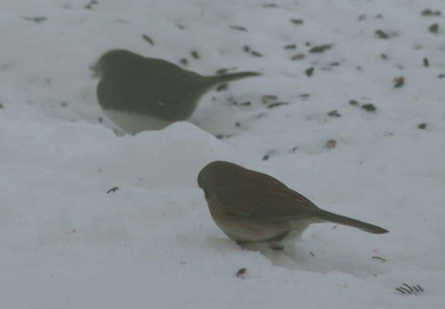 Juncos surviving the freezing temps