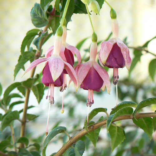 fuchsias at Wilder Ranch