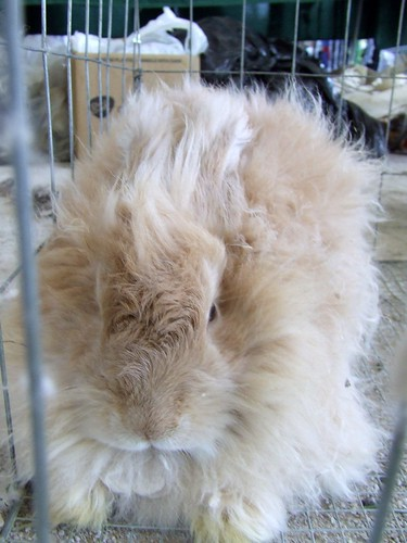 Angora Rabbit by marlana.