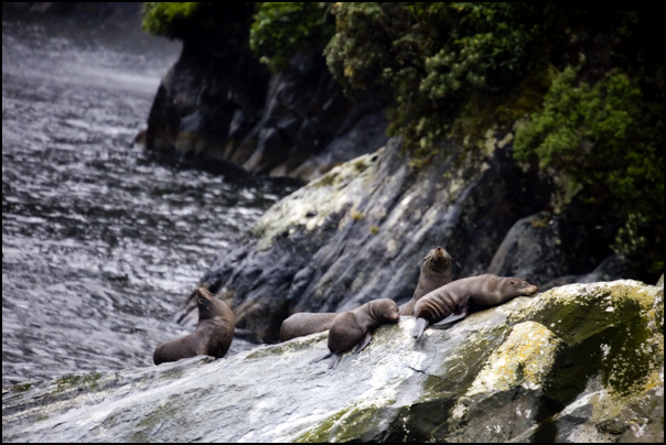 Southern Fur Seals, Milford Sound, New Zealand