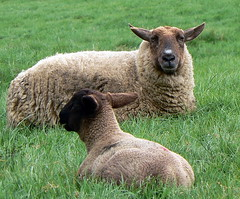 Mutton & Lamb.