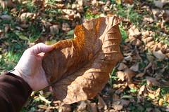 Cucumber Magnolia Leaf
