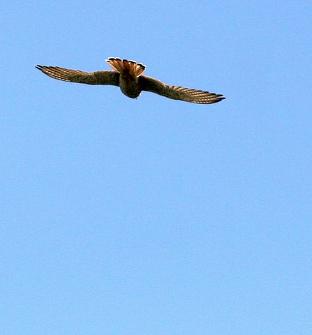 kestrel in flight nandi hills 251107